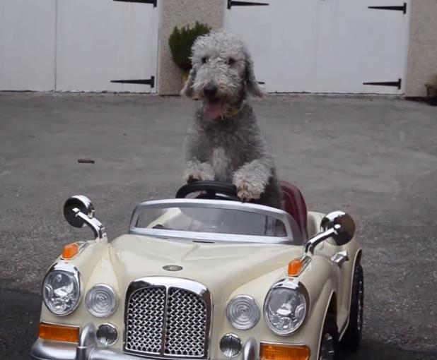 Barry the Bedlington terrier driving his mini Rolls-Royce