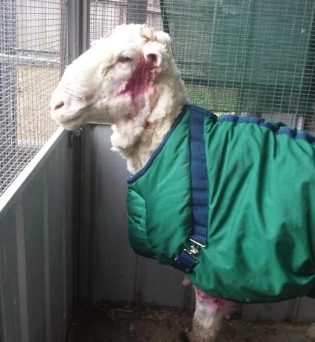 World's wooliest sheep Chris after being shorn