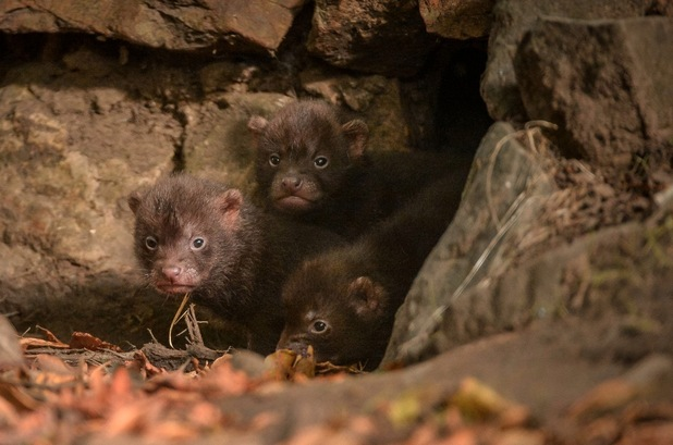 A tiny trio of bush dog pups have been spotted emerging from their den for the first time at Chester Zoo, 10th September 2015