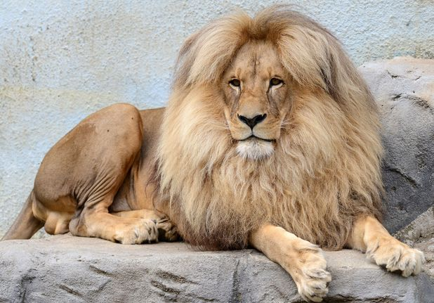 Leon the lion at a Czech zoo