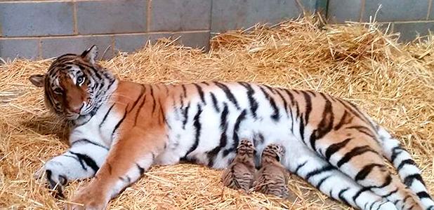 Rare Amur tiger cubs at Woburn Safari Park, Bedfordshire, Britain - 06 Oct 2015