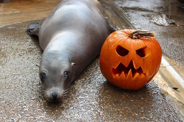 Harley, a Californian Sea Lion at Chessington World of Adventures Resort lies by a halloween pumpkin. October 2015
