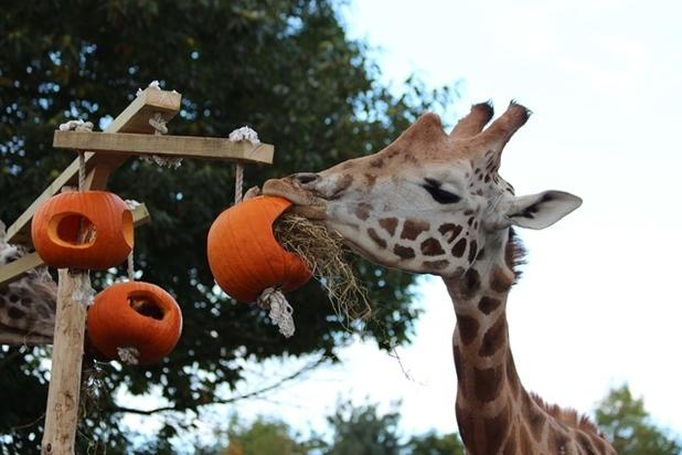Tonda, a Rothschild Giraffe at Chessington World of Adventures Resort tries a tasty halloween treat. October 2015