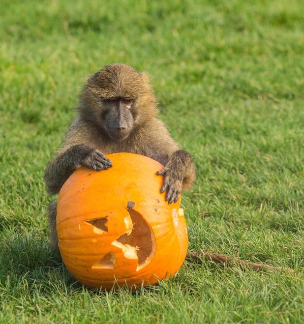 Baboons at Knowsley Safari Park enjoy a pumpkin filled with tasty treats, October 2015