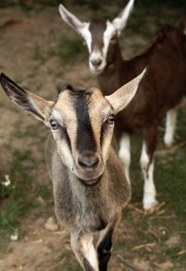 A Singapore Airlines flight was grounded for three hours after farting goats set off the smoke alarm