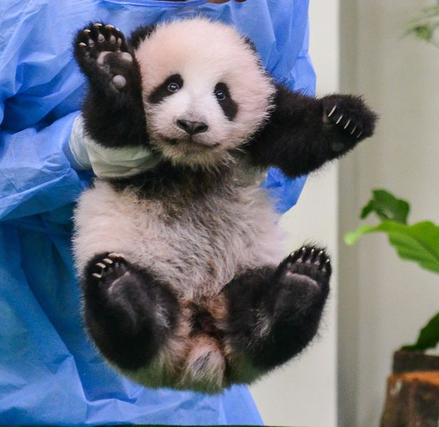 Giant panda cub waves to the camera in Malaysia