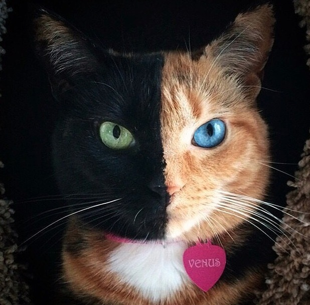 Venus is a chimera cat meaning she has two different colours of fur