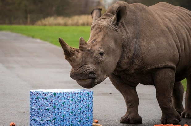 Knowsley Safari's animals were treated to some festive enrichment activities for Christmas - December 2015