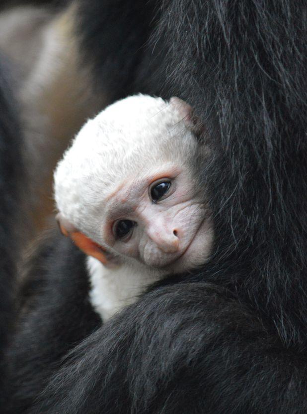 White colobus monkey born at London Zoo to mum Sophia