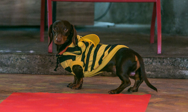 Sausage dog dressed as a bee
