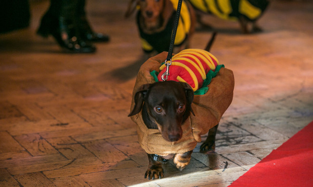 Sausage Dog society member dressed as a hot dog