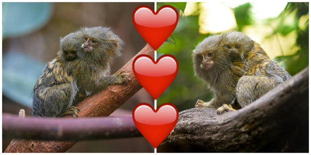 A baby Eastern pygmy marmoset – the world's smallest species of monkey – has been born at Chester Zoo. February 2016