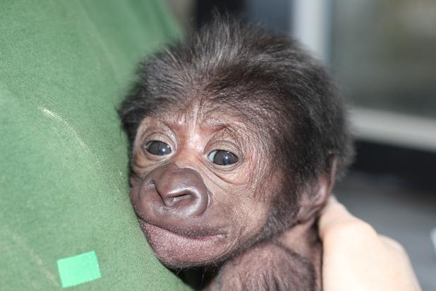 Bristol Zoo welcomed a baby gorilla
