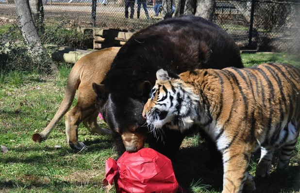 Noah's ark animal sanctuary is home to a lion, a tiger and a bear