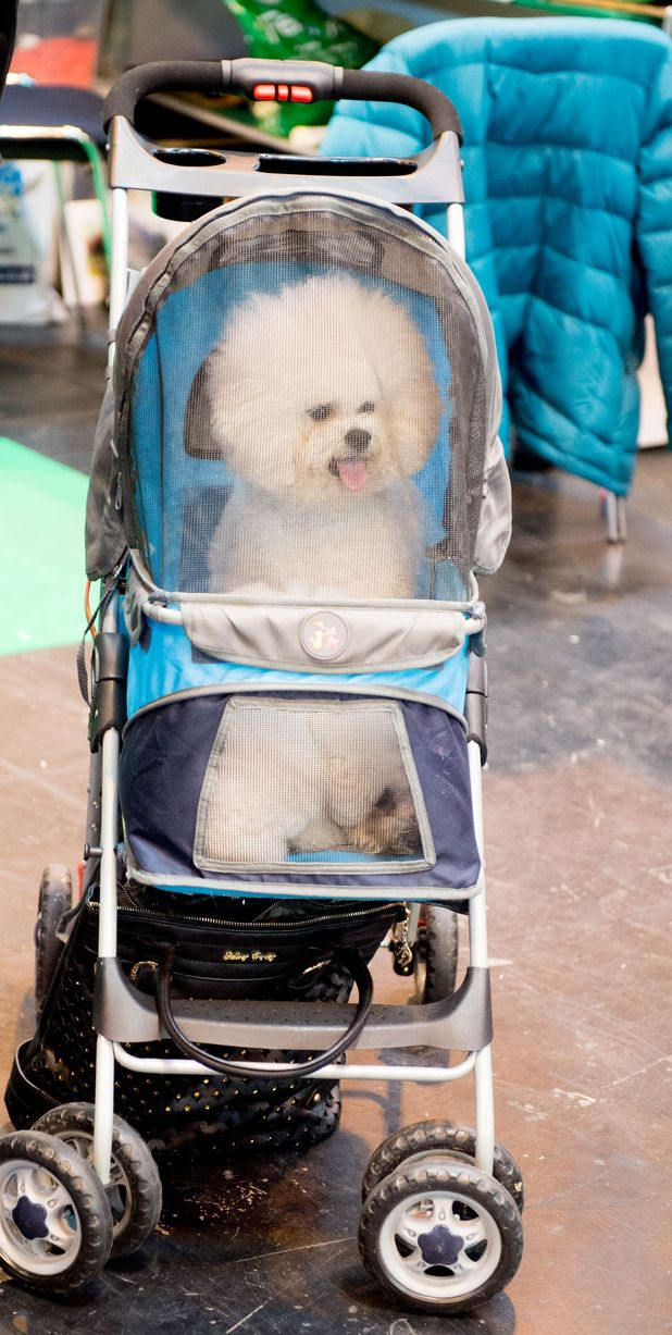 Crufts contestant arrives for the day