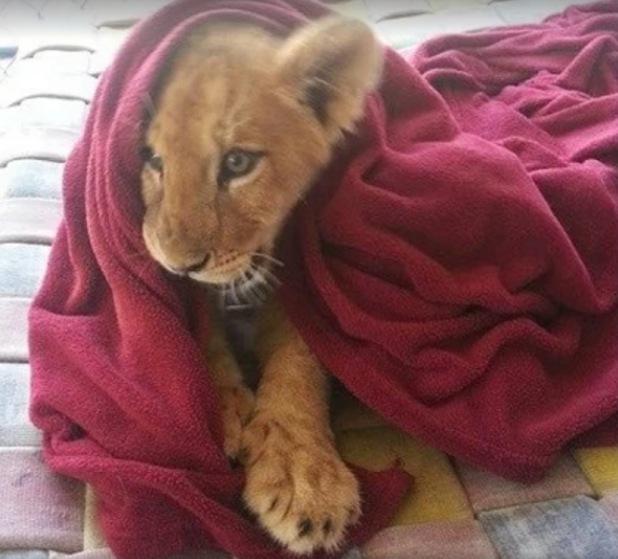 Lambert as a cub