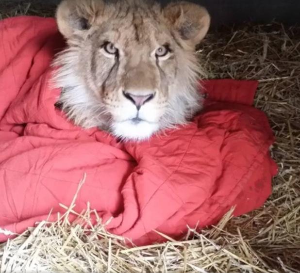 Lambert the lion loves his blanket