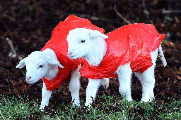 Spring lambs wearing raincoats in Hungerford, Berkshire April 6