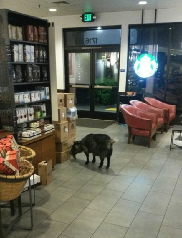 Millie the goat walked into a Starbucks in California