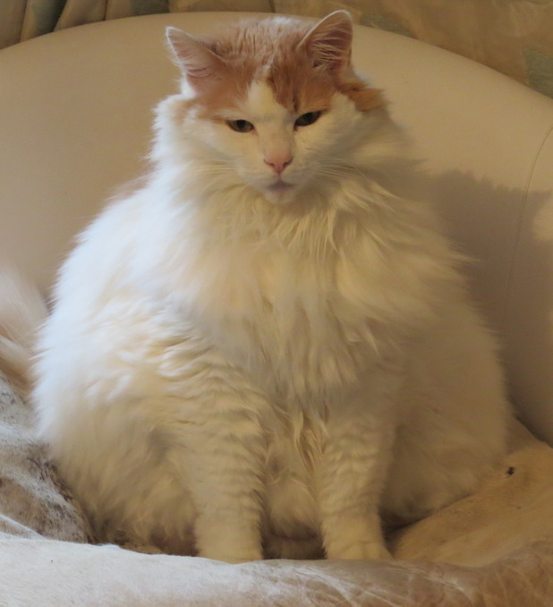 Puff the cat is dangerously overweight