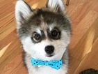 Norman the Pomsky is Instagram's cutest new star!