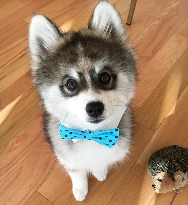Norman the Pomsky is Instagram's cutest new puppy star