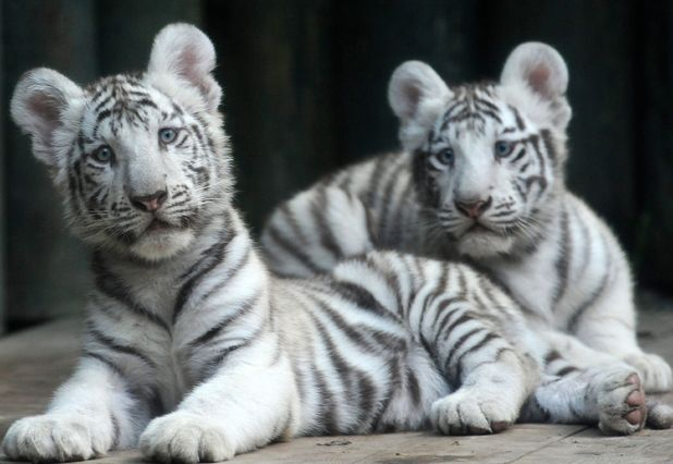 Four month old tiger cubs playing